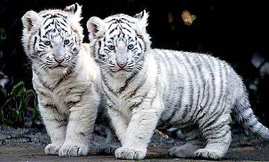 koťata bílého tygra